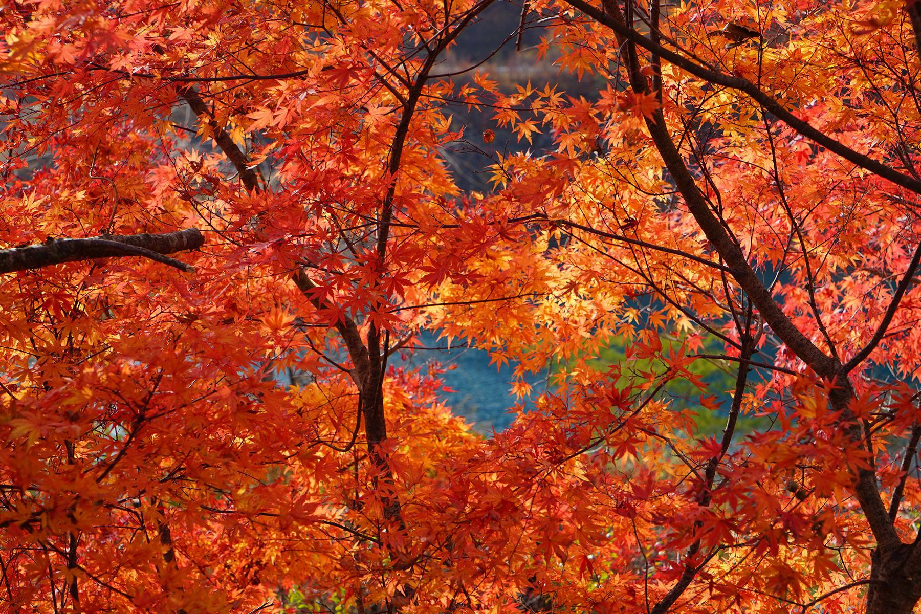 秋-6 紅葉